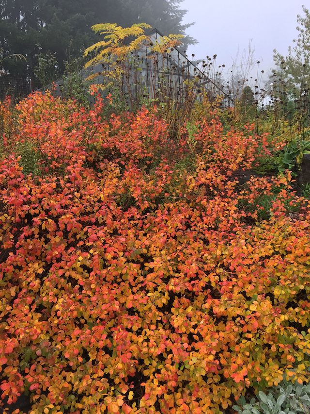 low grow sumac explodes with color in fall