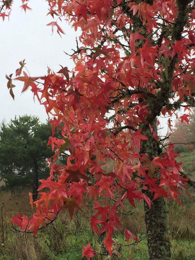 In fall, the sweetgums take on bright orange and red hues